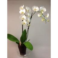 orhidee phalaenopsis la ghiveci